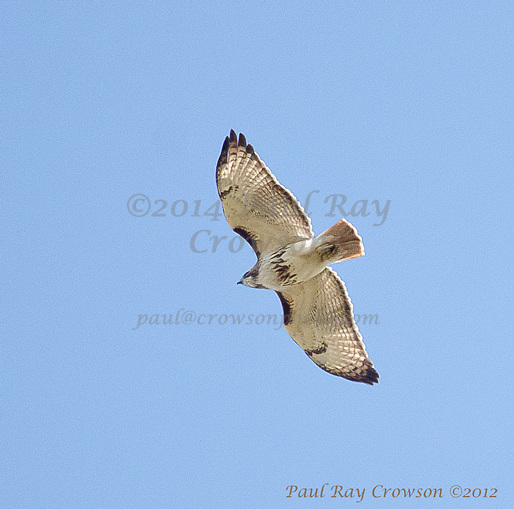 Pale Redtailed-Hawk