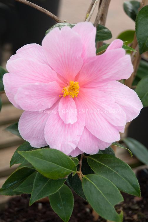 Camellia x williamsii Donation, pink flowered