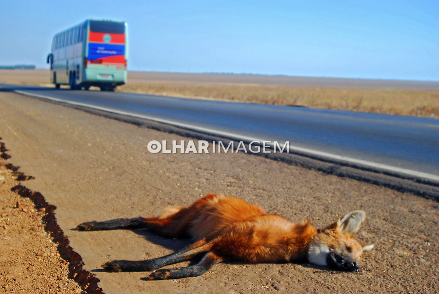 Animais mortos por atropelamento, Lobo Guara. BR 364. Mato Grosso. 2008. Foto de Antonio Siqueira.