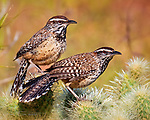 Vigilant: Cactus Wren Sentinels.  This alert pair is defending their nest against all intruders near Lake Pleasant, northeast of Phoenix.  The cactus wren, with its distinctive markings and warm colors, is well suited to be the state bird of Arizona.<br /> <br /> Image ©2020 James D. Peterson