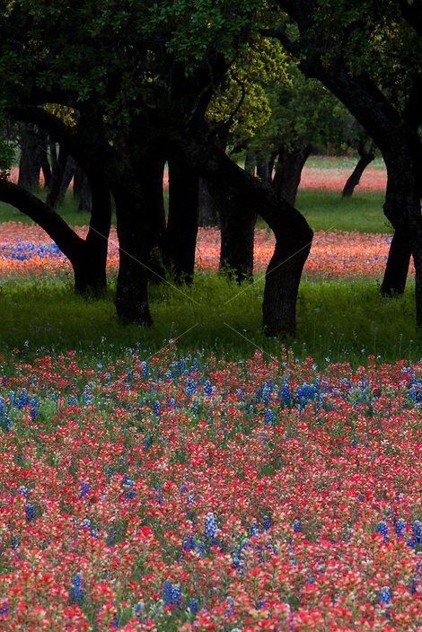 portrait view of bright red Paintbrush and Bluebonnets around Texas Live Oak Trees in the Hill Country