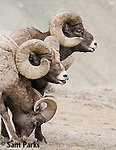 Bighorn sheep rams in flehmen response during the rut. Park County, Montana.