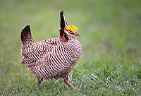 572110183 a wild lesser prairie chicken tympanuchus pallidicintus displays and struts on a lek on a remote ranch near canadian in the texas panhandle