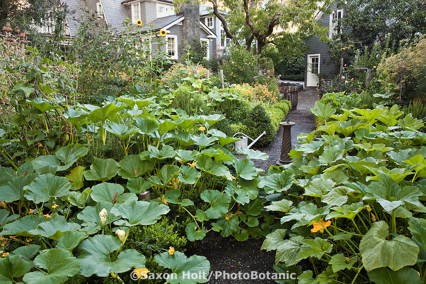 Pumpkin squash vines overflowing beds in backyard organic kitchen garden with vegetables, herbs, and flowers