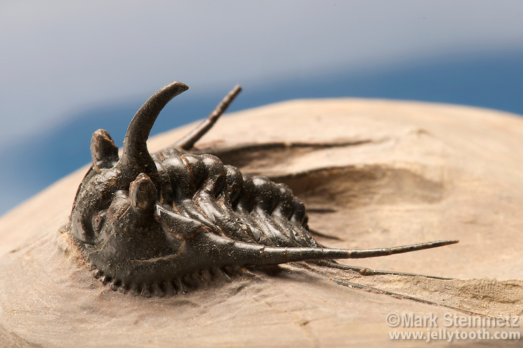 Close-up view of a Trilobite (Kettneraspis sp.), Morocco. Size is 2 cm long.