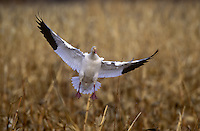 Snow Goose landing in corn fields, Bosque del Apache, New Mexico