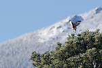 red-tail hawk in flight, ponderosa pine, Estes Park, Colorado, USA
