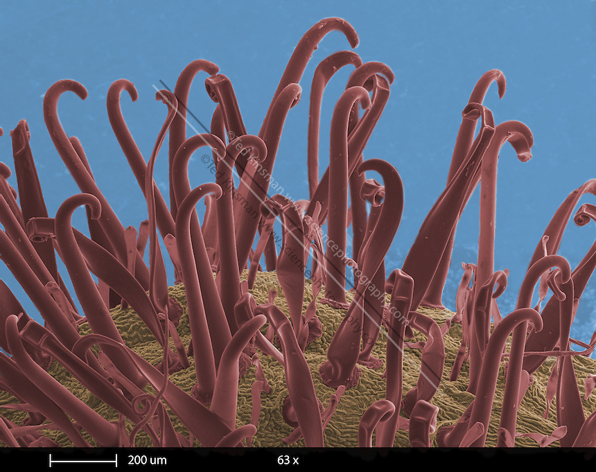Scanning electron microscope image of Galium aparine.  Common names include, Catchweed, Bedstraw, Sticky Willy, Goose Grass, and Cleavers.  This unique plant has seeds covered in burs similar to Velcro.  The seeds are dispersed by getting stuck in animals fur.  The magnification on this image is 45x and represents an area 2 mm wide on the seed.