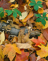 McClean County, IL: Ground detail of mossy log & fall leaves of maple hardwood forest
