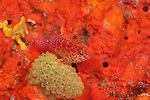 Dwarf hawkfish (Cirrhitichthys falco), beside tunicates on a sponge. North Raja Ampat, West Papua, Indonesia