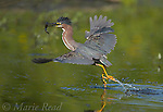 Green Heron (Butorides virescens) capturing a fish, Ithaca, New York, USA