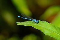 338290012 a wild male aztec dancer argia nahuana perches on a plant along empire creek in las cienegas natural area santa cruz county arizona united states