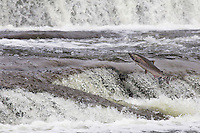 Coho or Silver Salmon (Oncorhynchus kisutch) jumping small falls while on fall spawning migration up freshwater river.  Pacific Northwest.