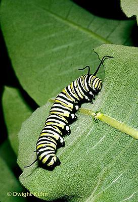 MO02-001d  Monarch Butterfly - caterpillar on milkweed - Danaus plexippus