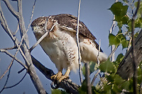 A hawk perched in a tree, searching for it's next meal, in the Cimarron National Grassland.