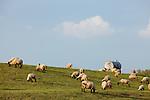 Europa, DEU, Deutschland, Nordrhein Westfalen, NRW, Rheinland, Niederrhein, Wesel-Ginderich, Schafe, Schafhaltung, Naturschutzgebiet Bislicher Insel, Auf dem Rheindeich bei Wesel-Ginderich grasen die Schafe und werden hier zur Landschafts- und Deichpflege der Hochwasserschutzanlage eingesetzt. Wichtige landwirtschaftliche Erzeugnisse sind Schaffleisch und Schafsmilch., Kategorien und Themen, Landwirtschaft, Landwirtschaftlich, Agrar, Agrarwirtschaft, Erzeugung, Landwirtschaftliche Produkte, ....[Fuer die Nutzung gelten die jeweils gueltigen Allgemeinen Liefer-und Geschaeftsbedingungen. Nutzung nur gegen Verwendungsmeldung und Nachweis. Download der AGB unter http://www.image-box.com oder werden auf Anfrage zugesendet. Freigabe ist vorher erforderlich. Jede Nutzung des Fotos ist honorarpflichtig gemaess derzeit gueltiger MFM Liste - Kontakt, Uwe Schmid-Fotografie, Duisburg, Tel. (+49).2065.677997, archiv@image-box.com, www.image-box.com]