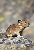 Pika barking in Okanogan National Forest, Washington
