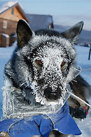 A Cim Smyth dog is frosted up upon arrival at Kaltag after a 25 degree below zero run up the Yukon river from Eagle Island on Sunday morning.  Iditarod 2009