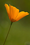 Single Mexican Gold Poppy, Eschscholtzia mexicana