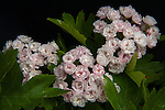 Pink Hawthorn blossoms