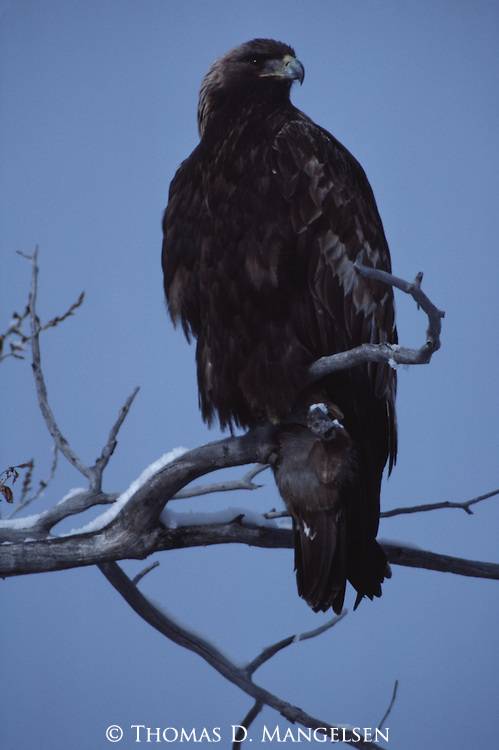 Close-up of a golden eagle perched on a branch in Wyoming.