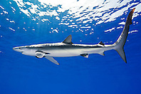 blue shark, Prionace glauca, large female, Big Island, Hawaii, USA, Pacific Ocean