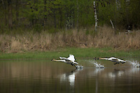 Trumpeter swans taking flight