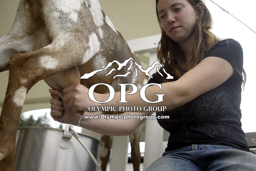 August 23, 2003: A goat gets milked during the goat milking compitition at the Kitsap County Fair in Bremerton, WA.