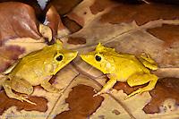 Solomon Isle Leaf Frog, Ceratobatrachus guentheri