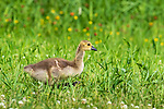 Gosling walking in a northern Wisconsin meadow.