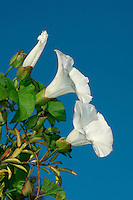 LARGE BINDWEED Calystegia silvatica (Convolvulaceae) Climbing, to 2-4m. Vigorous, hairless perennial that is similar to Hedge Bindweed; subtle differences in flower structure allow separation. Grows on disturbed ground and roadside verges, twining around other plants to assist its progress. FLOWERS are 6-7cm across, white and funnel-shaped (Jun-Sep); the 2 epicalyx bracts overlap one another and conceal the sepals. FRUITS are capsules. LEAVES are arrow-shaped and up to 12cm long. STATUS-Naturalised, mainly in the where it is locally common.