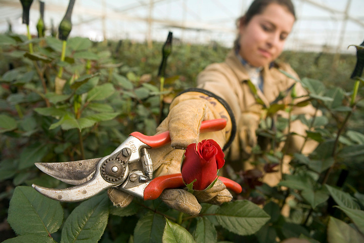 BOGOTA, COLOMBIA -- JANUARY 21:  A worker displays a rose ready for harvest at Alpes Flowers  on January 21, 2007. (Photo by Dennis Drenner/Aurora).