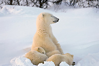 Polar bear (Ursus maritimus) sow with cubs
