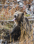 Grizzly bear yawning. Yellowstone National Park, Wyoming.