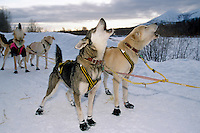 Sam Perrino's Dogs Howl to at Takotna Checkpoint<br />