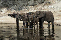 Africa, Botswana, Kasane, Elephants on the Chobe River. Botswana has the highest elephant population of any country in Africa.