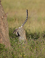 Leopard (Panthera pardus) leaping from a tree, Central Serengeti
