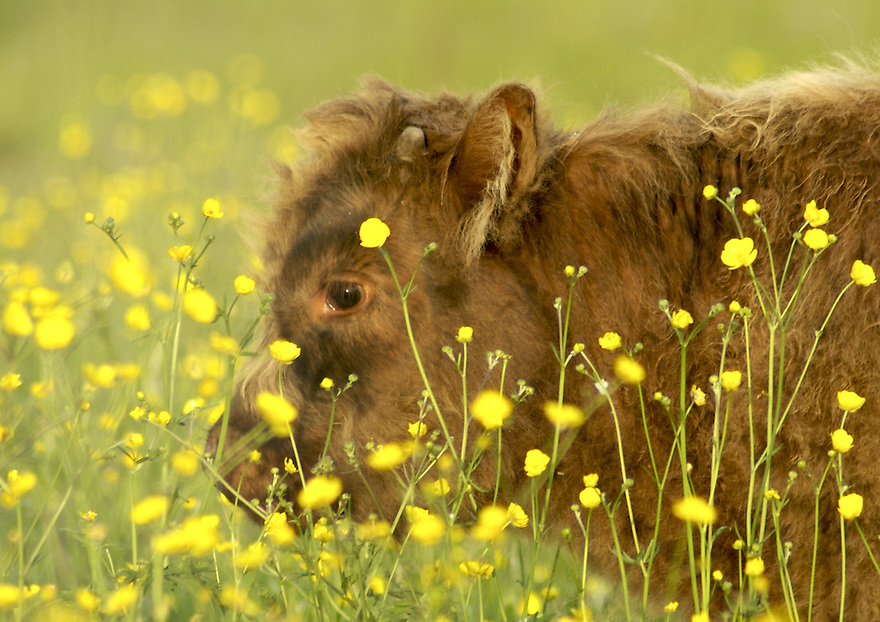 This young long haired calf seemed to be swimming in a field of Buttercups.