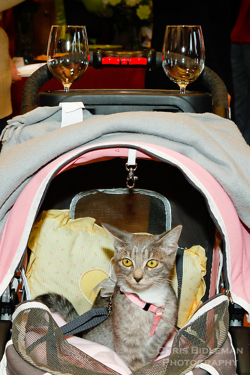 A small cat with big yellow eyes is seen inside a baby buggy (baby carriage) with two wine glasses on carriage during a wine tasting event.