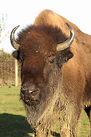 Farmed Bison stock bull, Melton Mowbray, Leicestershire.