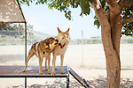 LAKE HUGHES - MAY 21: Paul and Colette Pondella have 10 wolfdogs in their pack at the Shadowland Foundation. They are seen training the dogs at their home in Lake Hughes, California May 21, 2015. (Photo by Kendrick Brinson)