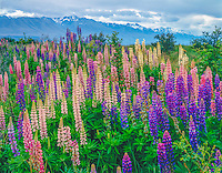 Southern Alps and lupine, Mt. Cook National Park, New Zealand South Island
