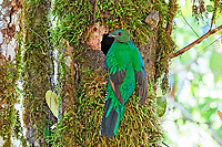 resplendent quetzal, Pharomachrus mocinno, female at nest, Costa Rica, Central America
