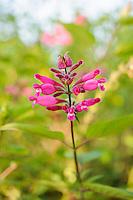 Salvia involucrata