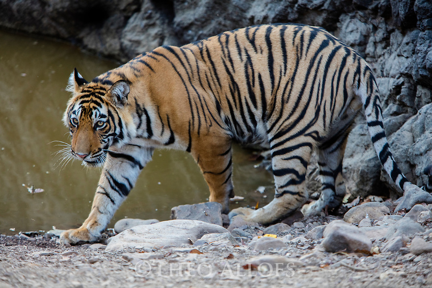 India, Rajasthan, Ranthambhore National Park, 18 months old Bengal tiger cub near water hole