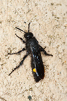Borstige Dolchwespe, Weibchen, Scolia hirta, Scolia hirta ssp. unifasciata, Scolia hirta unifasciata, scoliid wasp, female, Dolchwespen, Scoliidae, scoliid wasps
