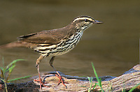 592800010 a wild louisiana waterthrush seirus motacilla perches on a dead mesquite branch over a small pond on a private ranch in the rio grande valley of south texas