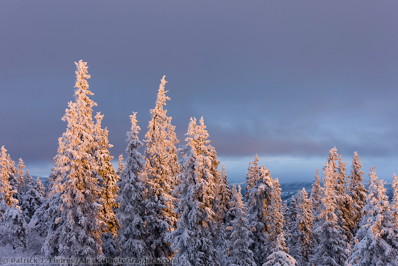 Sunset light falls on snow covered spruce trees, Interior, Alaska.