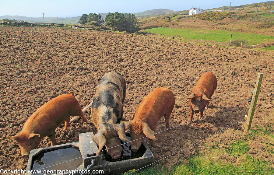 Pigs on Cape Clear Island, County Cork, Ireland, Irish Republic