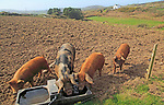 Pigs on Cape Clear Island, County Cork, Ireland, Irish Republic